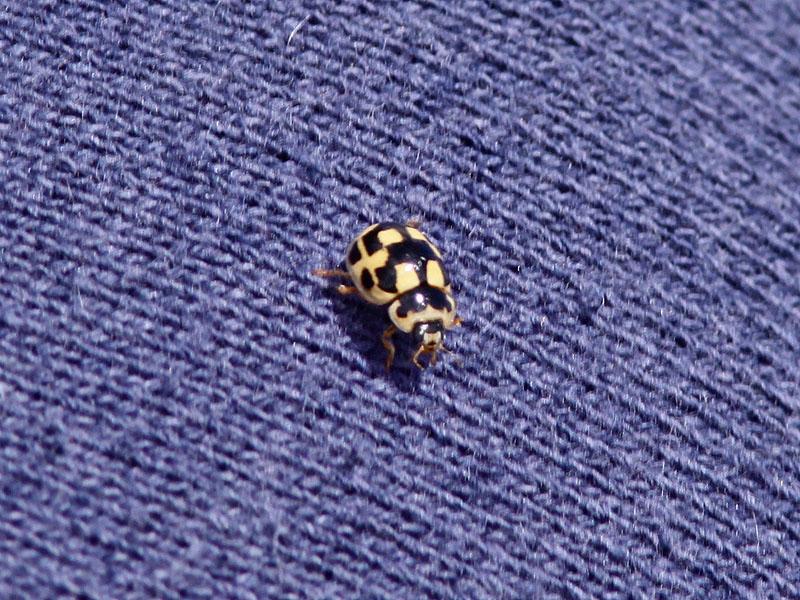 Fjortonprickig nyckelpiga - Fourteen spot ladybird (Propylea quatuordecimpunctata)