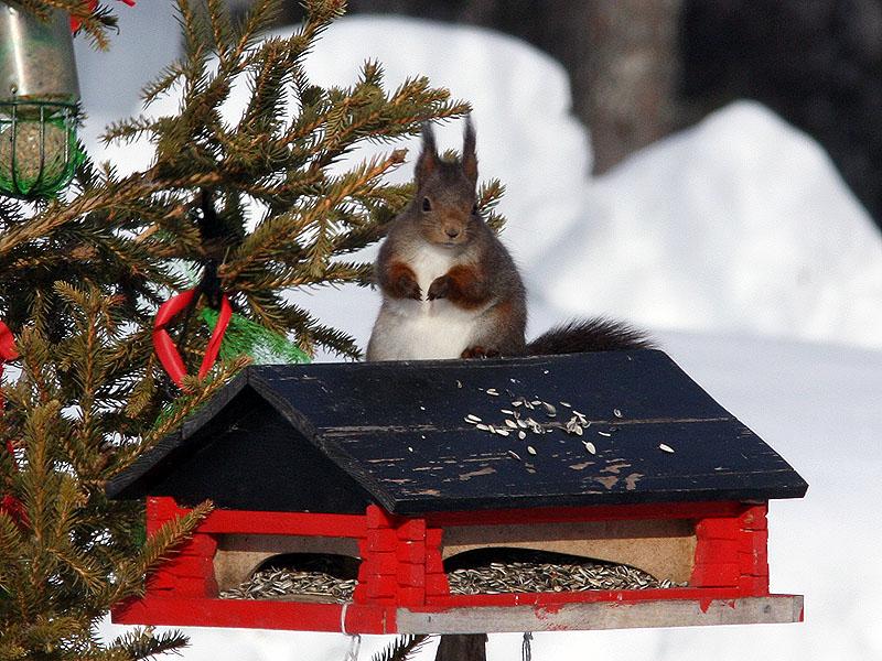 Röd ekorre - Eurasian red squirrel (Sciurus vulgaris)