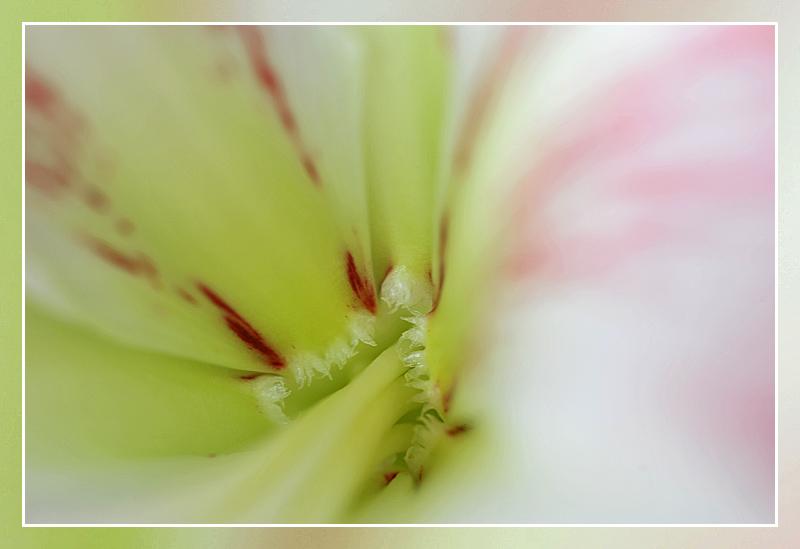 amaryllis macro