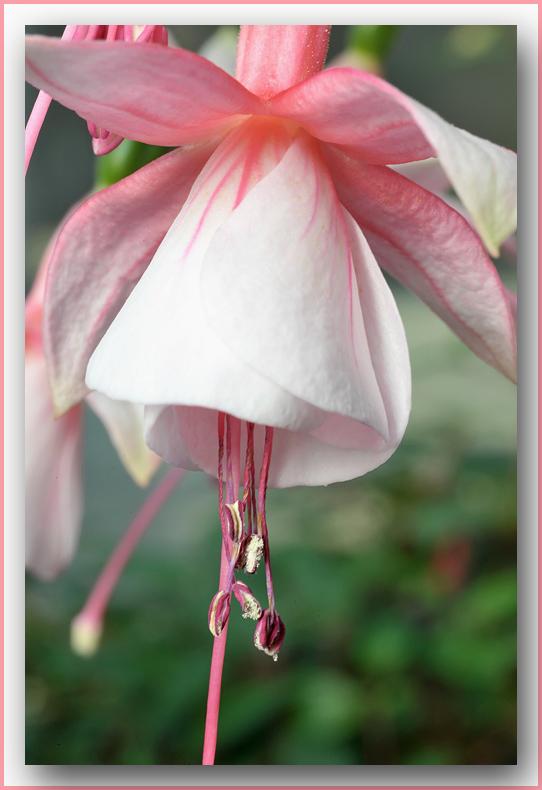 the softness of a fuchsia