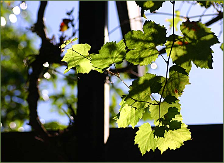 Vineleaves in the afternoon sunlight