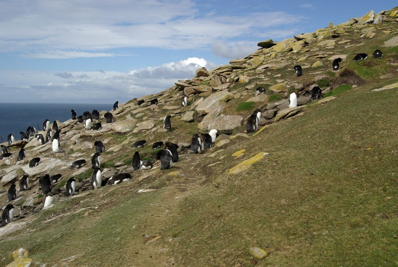 Rockhopper colony on Saunders Island