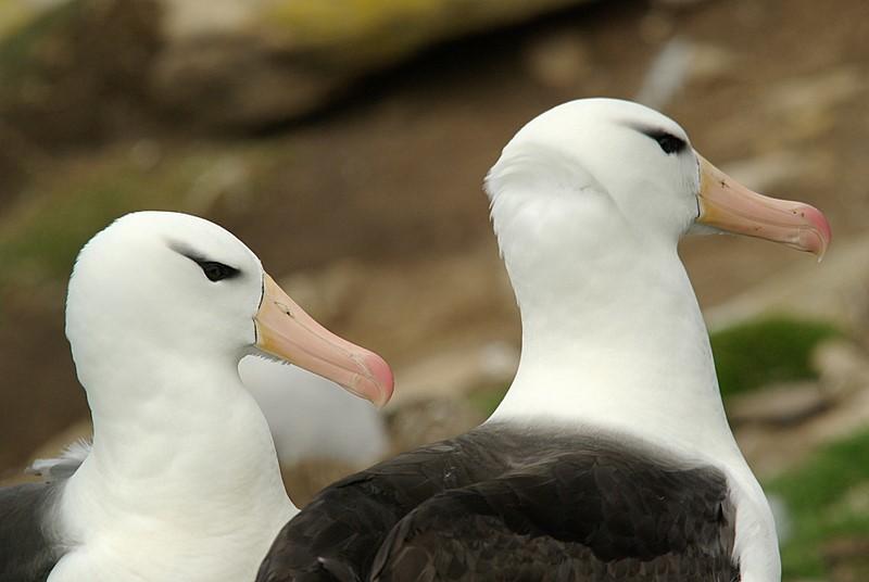 albatros czarnobrewy (diomedea melanophris)