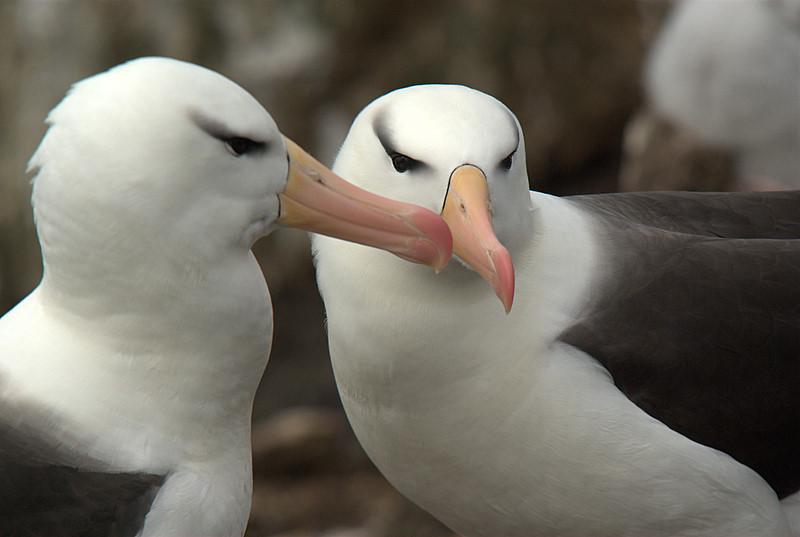 Black-browed albatross on Saunders Island