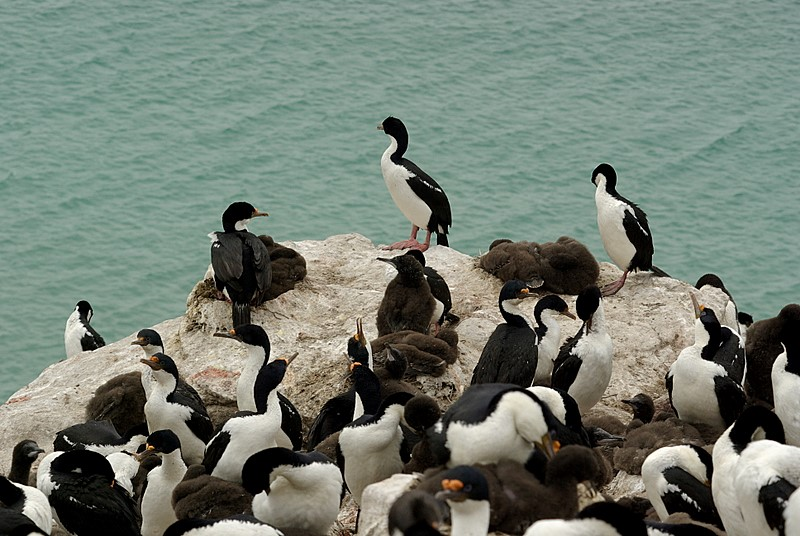 Imperial shag on Saunders Island
