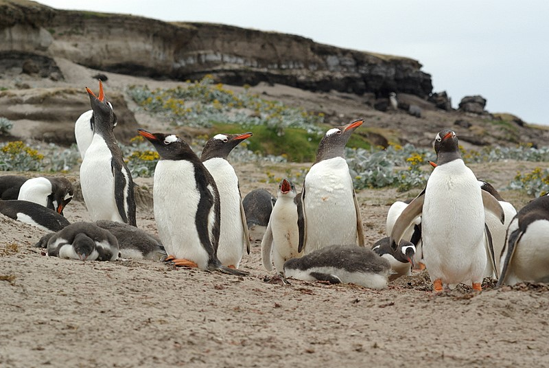 Gentoo penguin on Saunders Island