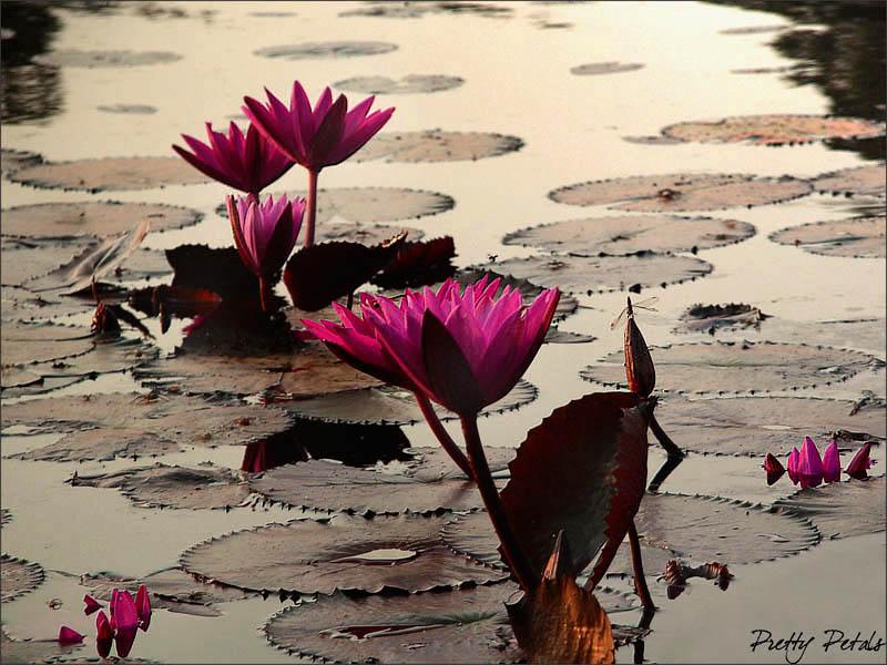 Pink Angkor Lilies