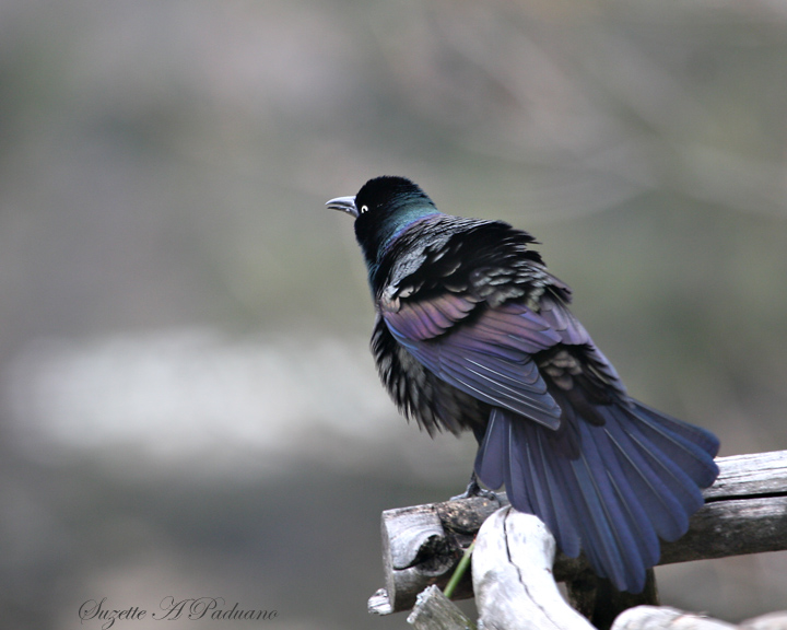 Puffed up Grackle