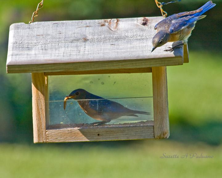bluebird feeder