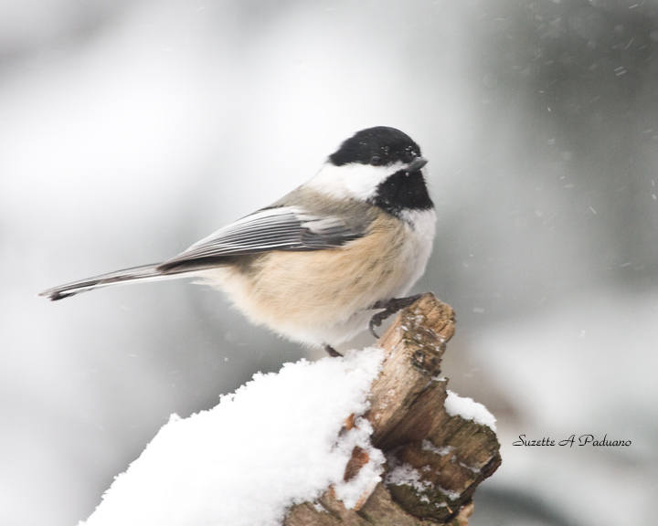 One cold Chickadee