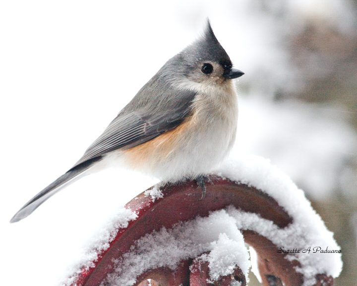 A very cold Titmouse