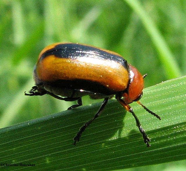 Clay-coloured leaf beetle  (<em>Anomoea laticlavia</em>)