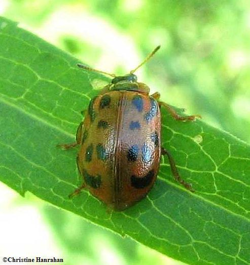 Alder leaf beetle (<em>Chrysomela mainensis</em>)