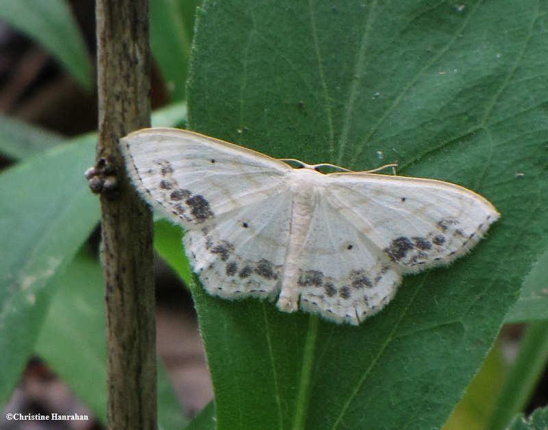 Large lace border (<em>Scopula limboundata</em>) #7159