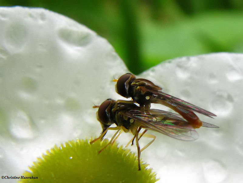 Hover flies (<em>Toxomerus</em>) on Arrowhead flower