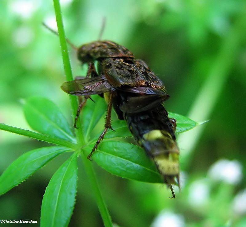 Rove beetle (<em>Ontholestes</em> sp.)