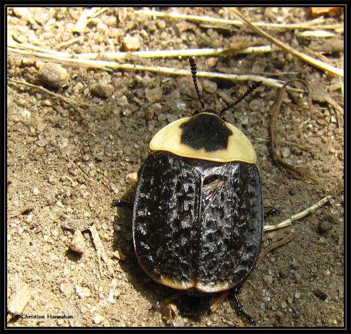 Burying beetle (<em>Necrophila americana</em>)