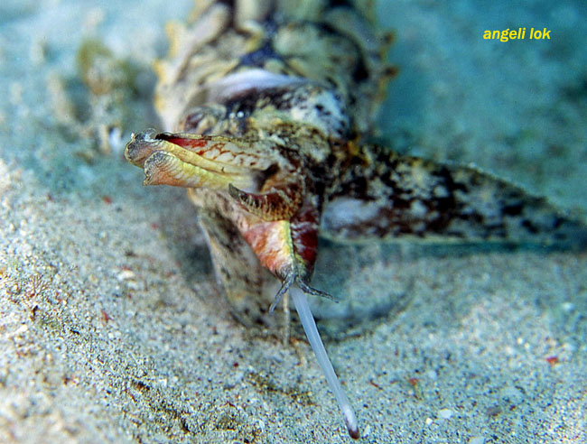 Flambuoyant cuttlefish feeding