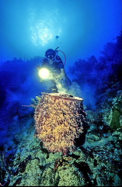 Giant Sponge, Xestospongia muta