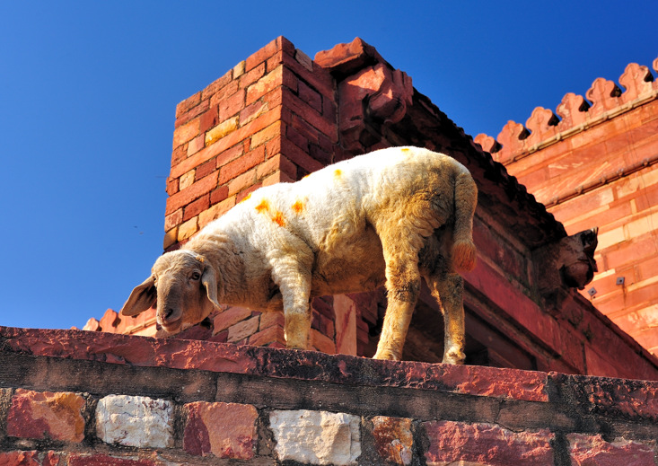 Lamb on the wall