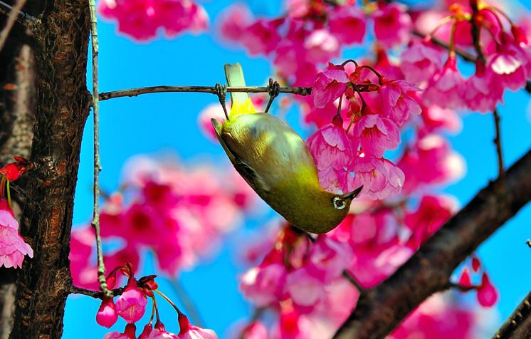 Upside Down Mejiro Bird on Sakura