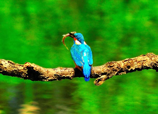 Kingfishers Back with Fish