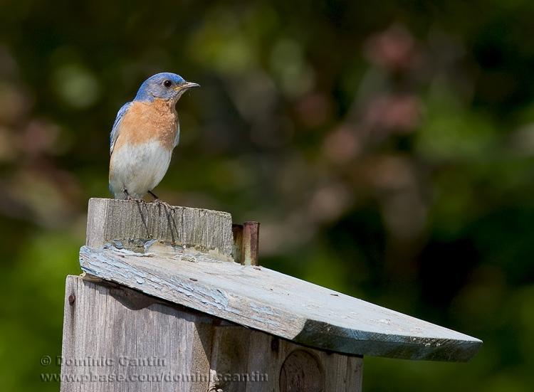 Merlebleu de lEst ( mal ) / Eastern Bluebird ( mal )