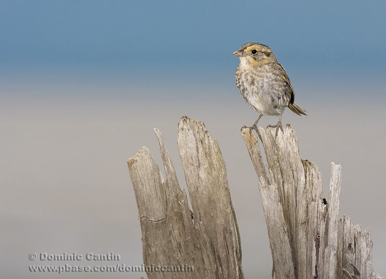 Bruant de Nelson / Nelsons Sharp-tailed Sparrow