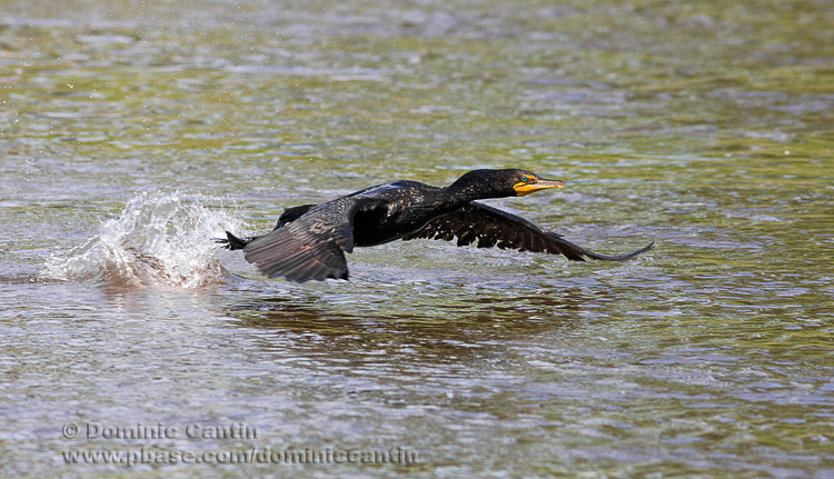 Cormoran �EAigrettes / Double-crested Cormorant
