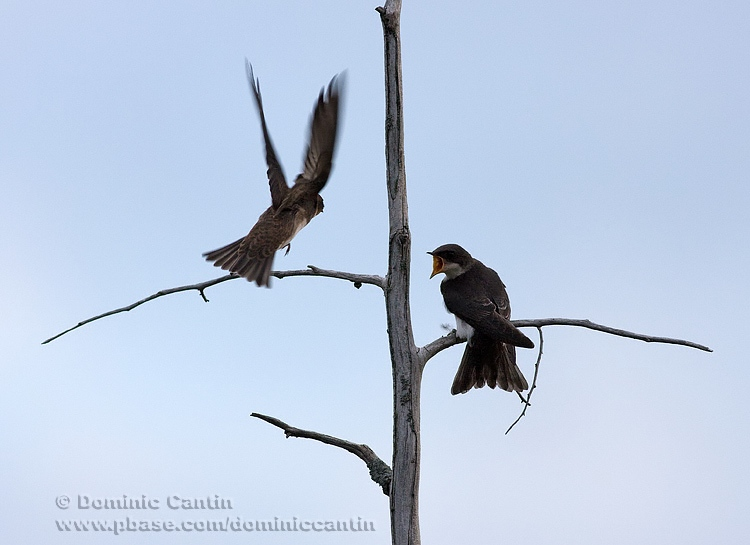 Hirondelles bicolores ( juv ) / Tree Swallow ( juv )