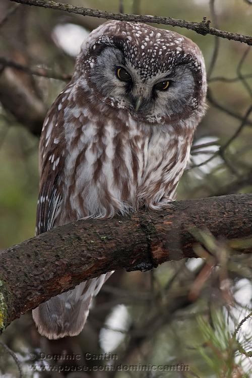 Nyctale de Tengmalm  /  Boreal Owl  ( 1/2 )