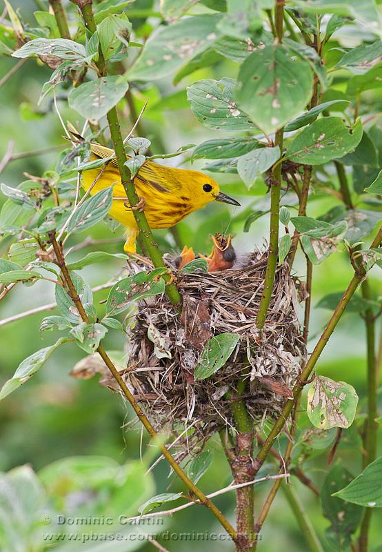 Paruline Jaune / Yellow Warbler