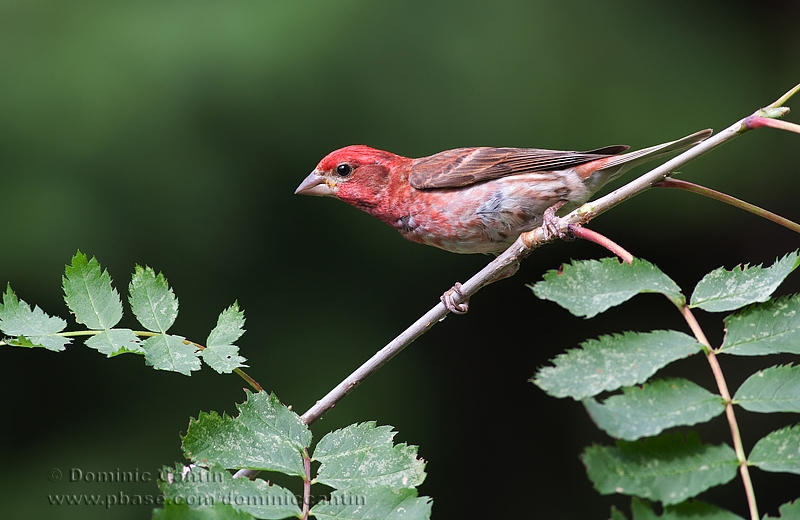 Roselin pourpré / Purple finch