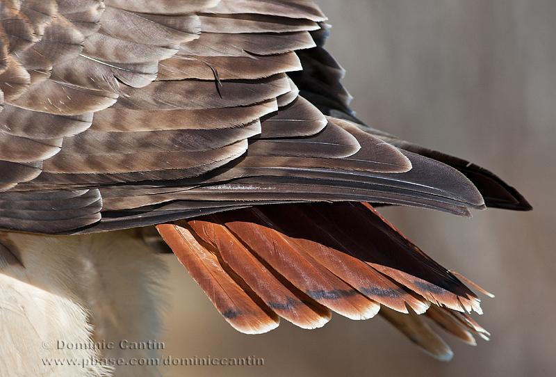 Buse à queue rousse / Red-tailed Hawk