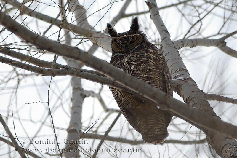 Grand-Duc dAmérique / Great Horned Owl