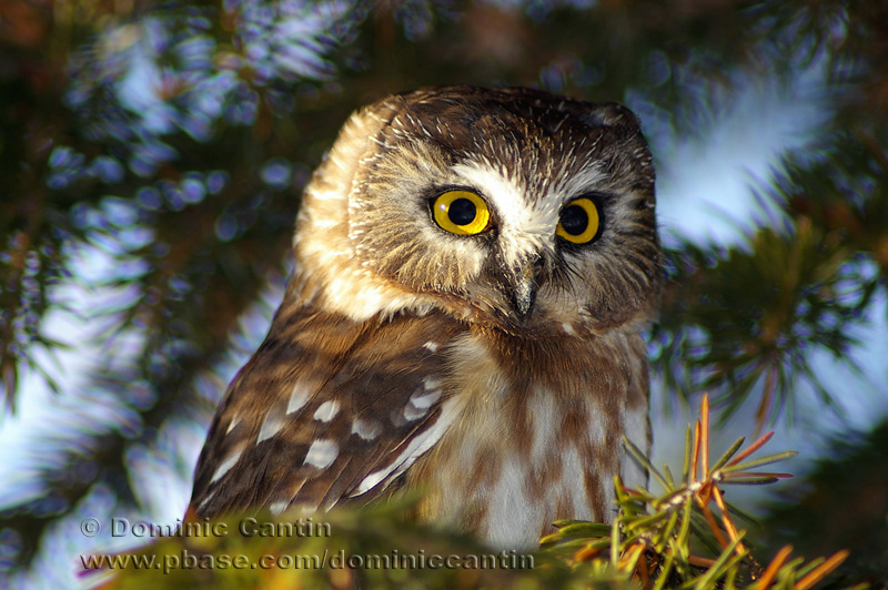 Petite Nyctale / Northern Saw-whet Owl