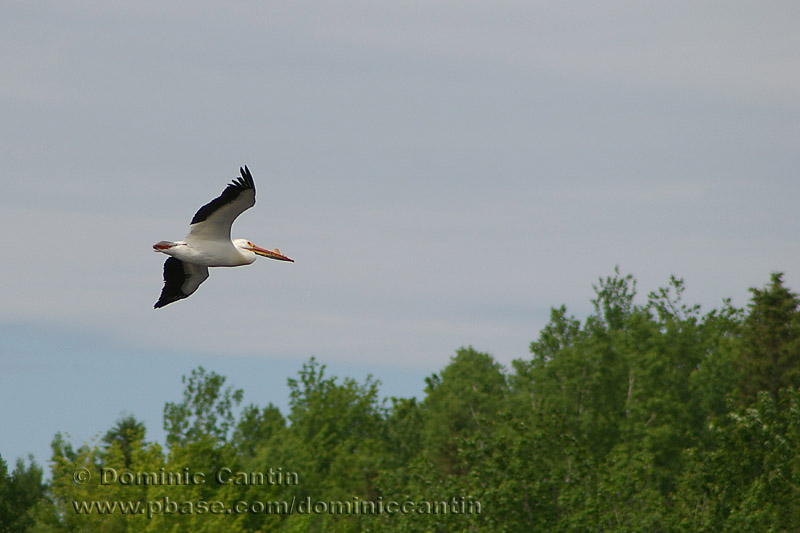Pélican dAmérique / American White Pelican