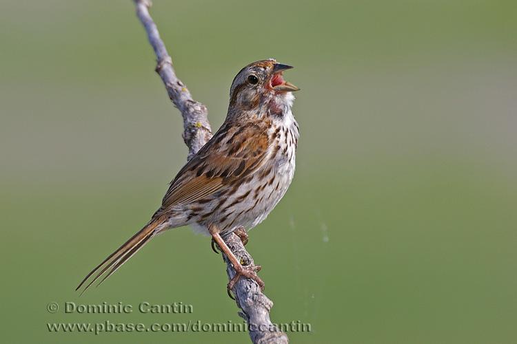Bruant Chanteur / Song Sparrow