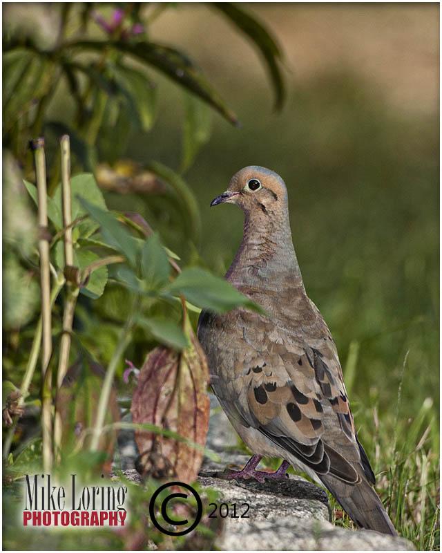 _29977 Mourning Dove.jpg