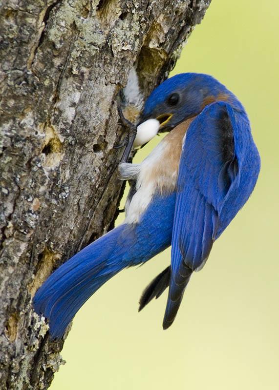 bluebird poop 2.jpg
