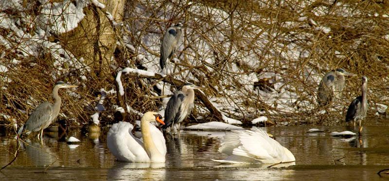 heron swan 2.jpg