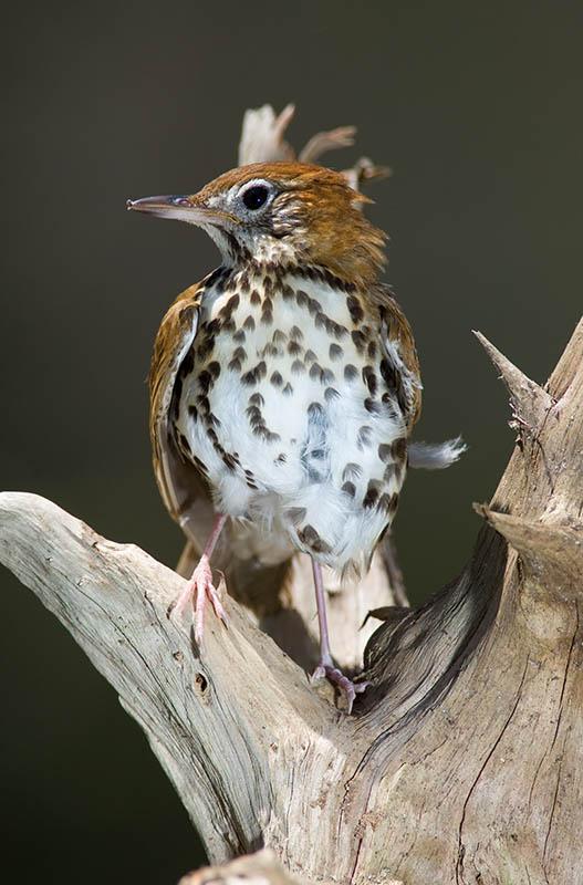 baby bird ..thrush?.jpg