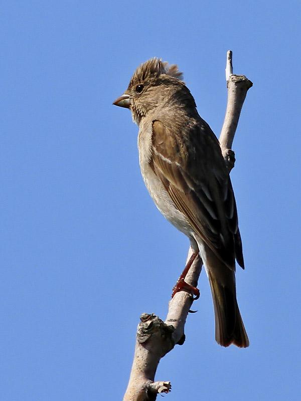 Rosenfink<br> Carpodacus erythrinus<br> Common Rosefinch