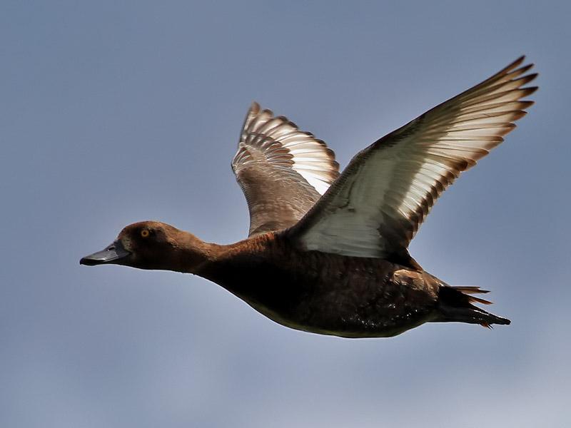 Vigg<br> Tufted Duck<br> Aythya fuligula