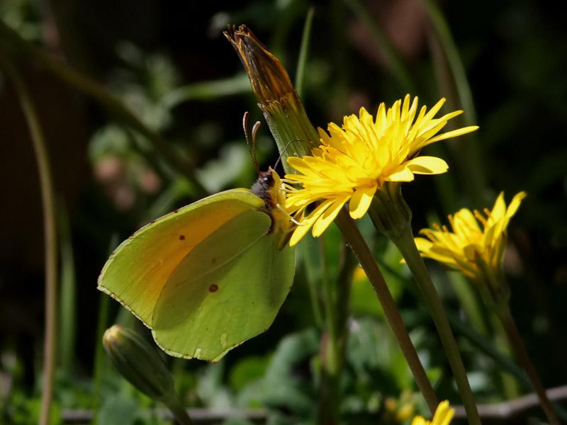Sydlig citronfjäril <br> Cleopatra <br>  Gonepteryx cleopatra