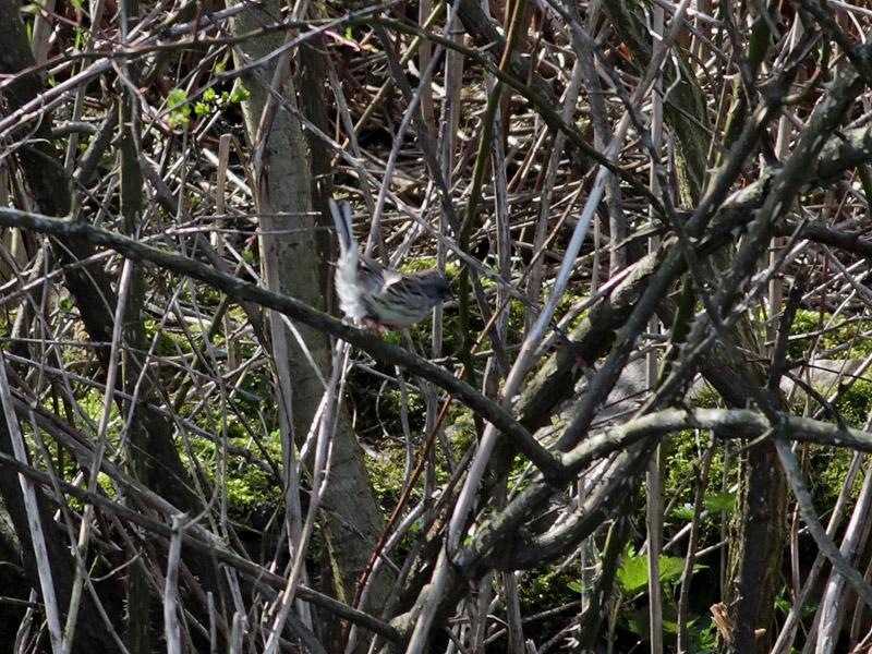 Gråhuvad sparv <br> Black-faced Bunting <br> Emberiza spodocephala