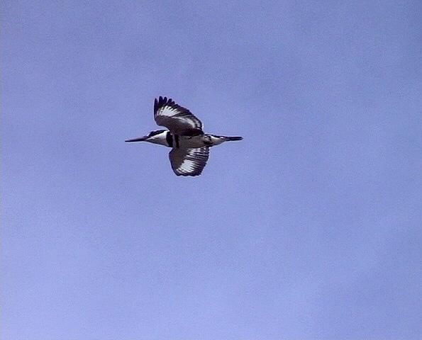 Gråfiskare<br> Pied Kingfisher<br> Ceryle rudis