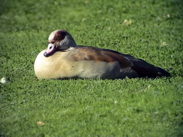 Nilgås<br> Egyptian Goose<br> Alopochen aegyptiacus