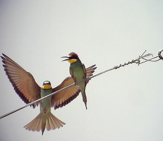 Biätare<br> European Bee-eater<br> Merops apiaster
