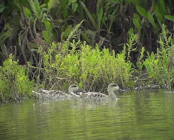 Marmorand<br> Marmaronetta angustirostris<br> Marbled Duck